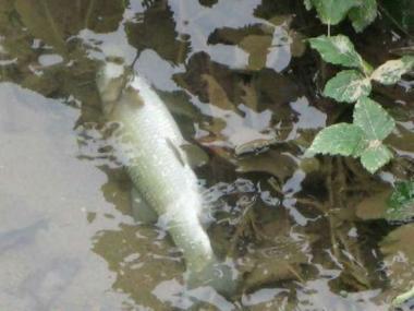 Due sversamenti in pochi giorni moria di pesci nel fiume for Pesci di fiume