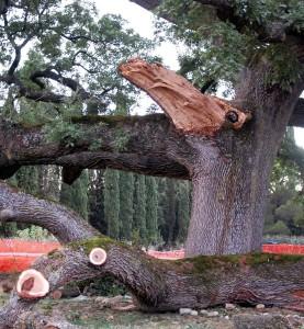 quercia checche tagliata