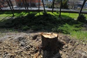 taglio alberi 3