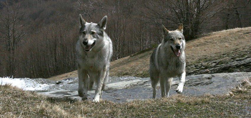 Attenti al lupo! La Conferenza stato-regioni decide sulla riapertura della caccia al predatore. Gli ambientalisti dicono No