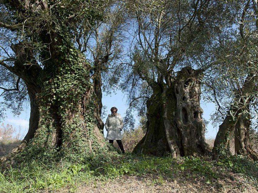 Villastrada, l'antica via Romea e un ulivo millenario testimone di tante storie: da Annibale alla battaglia del '44…